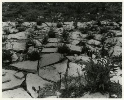 Lakeside Daisy near Endangered Species area