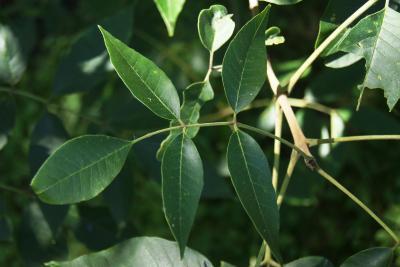 Fraxinus tomentosa (Pumpkin Ash), leaf, upper surface