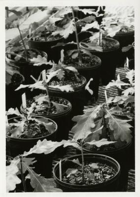 Quercus robur saplings in pots in greenhouse