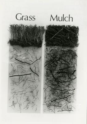 Root profiles of sugar maples comparing roots in competition with grass and in naturally mulched areas