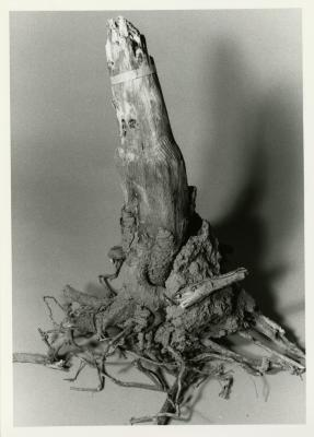 Roots research, tree stump with roots