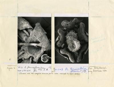 Scanning Electron Microscope (SEM) research, male flowers of (L) Acer pennsylvanicum and (R) Rhus aromatica