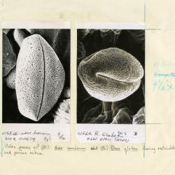 Scanning Electron Microscope (SEM) research, pollen grains of (L) Acer saccharum and (R) Rhus glabra