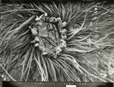 Scanning Electron Microscope (SEM) research, Populus deltoides, coma around seed