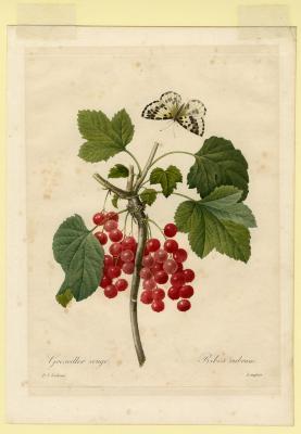 Groseiller rouge, Ribes rubrum
