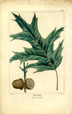 Red oak , Quercus rubra
