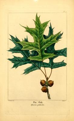 Pin oak, Quercus palustris