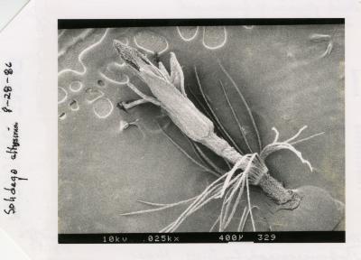 Scanning Electron Microscope (SEM) research - SEM photo: Disk flower of Goldenrod