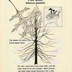 Illinois Tree Trail, Pin oak, (Quercus palustris)