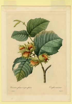 Noisetier franc à gros fruits, Corylus maxima