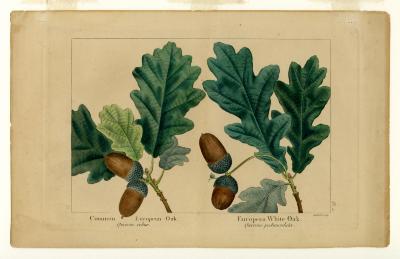 Common European oak, Quercus robur and European white oak, Quercus pedunculata