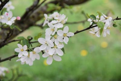 Malus 'Beverly' (Beverly Crabapple), flower, full