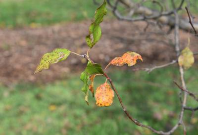 Malus 'Alexis' (Alexis Crabapple), leaf, fall