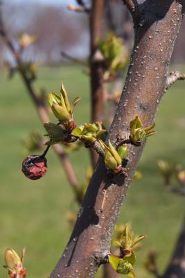 Malus 'Adirondack' (Adirondack Crabapple), leaf, spring