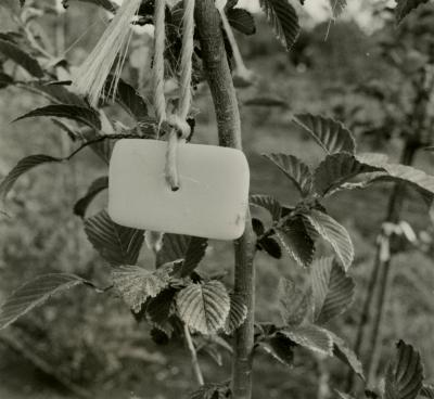 Landscape Conservation Nursery, soap tied to a branch as protection from deer