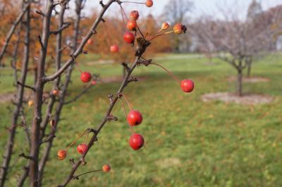Malus 'Adirondack' (Adirondack Crabapple), fruit, mature