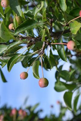 Malus 'Adirondack' (Adirondack Crabapple), fruit, immature