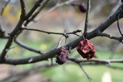 Malus 'Alexis' (Alexis Crabapple), fruit, mature