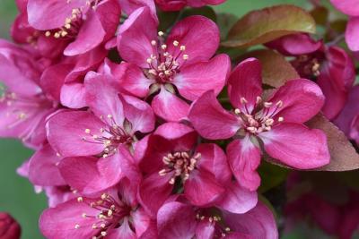 Malus 'Adams' (Adams Crabapple), flower, throat