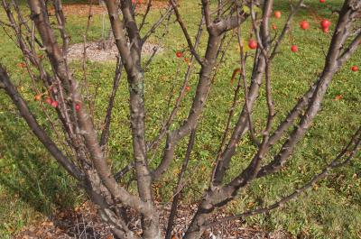 Malus 'Adirondack' (Adirondack Crabapple), bark, branch