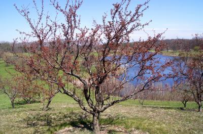 Malus 'Adams' (Adams Crabapple), habit, spring