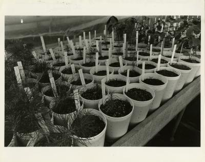 Propagation of woody plants in greenhouse , table of plants in pots