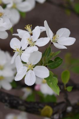 Malus 'Beverly' (Beverly Crabapple), flower, throat