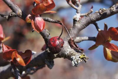Malus 'Adams' (Adams Crabapple), fruit, mature