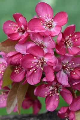 Malus 'Adams' (Adams Crabapple), flower, full