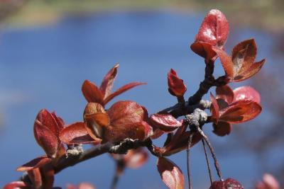 Malus 'Adams' (Adams Crabapple), leaf, spring