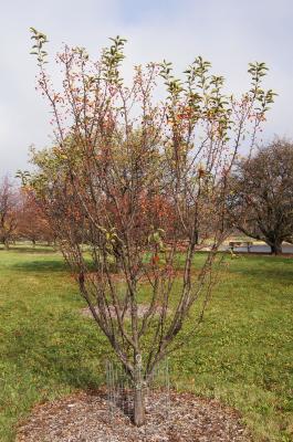 Malus 'Adirondack' (Adirondack Crabapple), habit, fall