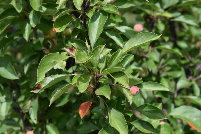 Malus 'Adirondack' (Adirondack Crabapple), leaf, summer