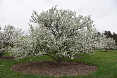 Malus 'Beverly' (Beverly Crabapple), habit, spring