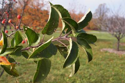 Malus 'Adirondack' (Adirondack Crabapple), leaf, fall