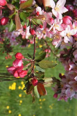 Malus 'Camzam' (CAMELOT® Crabapple), bud, flower