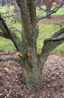 Malus 'Donald Wyman' (Donald Wyman Crabapple), bark, mature