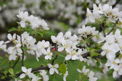 Malus 'Beverly' (Beverly Crabapple), inflorescence