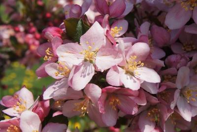 Malus 'Camzam' (CAMELOT® Crabapple), flower, full
