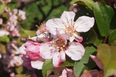 Malus 'Canary' (Canary Crabapple), flower, full