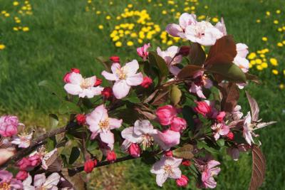 Malus 'Canary' (Canary Crabapple), inflorescence