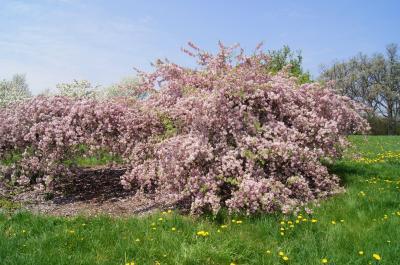 Malus 'Louisa' (Louisa Weeping Crabapple), habit, spring