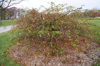 Malus 'Louisa' (Louisa Weeping Crabapple), habit, fall