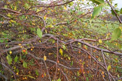 Malus 'Louisa' (Louisa Weeping Crabapple), bark, branch