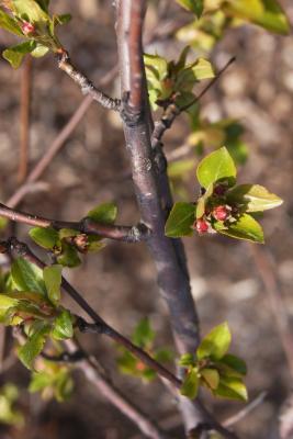 Malus 'Louisa' (Louisa Weeping Crabapple), bud, flower
