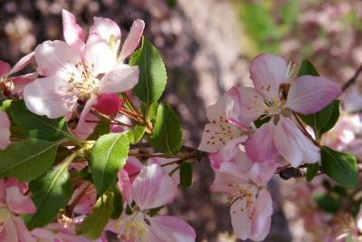Malus 'Louisa' (Louisa Weeping Crabapple), flower, full