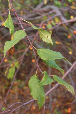 Malus 'Louisa' (Louisa Weeping Crabapple), leaf, fall