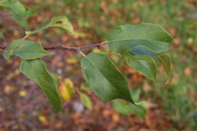 Malus 'Louisa' (Louisa Weeping Crabapple), leaf, upper surface