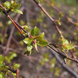 Acer negundo (boxelder), buds