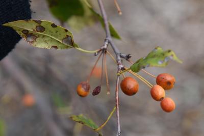 Malus 'Louisa' (Louisa Weeping Crabapple), fruit, mature