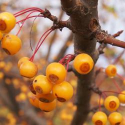 Malus 'Pumpkin Pie' (Pumpkin Pie Crabapple), fruit, mature